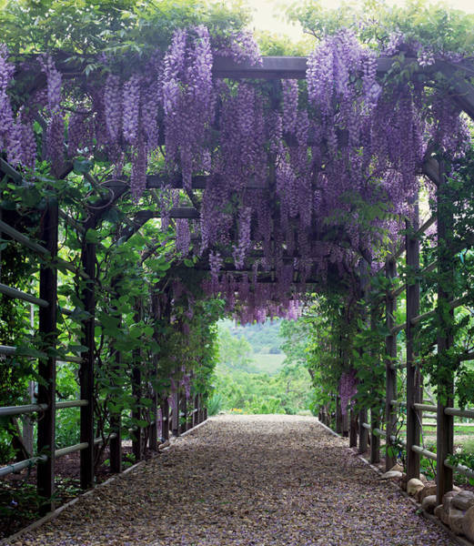 Wisteria Wall Art - Photograph - Flowering Wisteria Vines On Pergola by Sandra Ivany