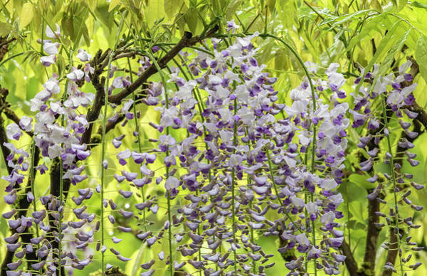 Wall Art - Photograph - Flowering Wisteria Vines, Portland by William Sutton