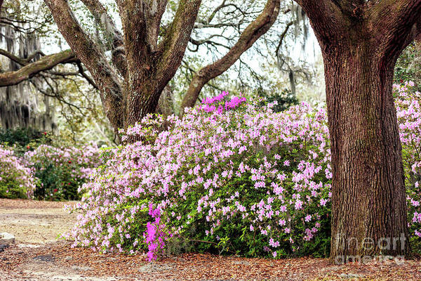 Photograph - Flowers Between The Oaks At Charles Towne Landing by John Rizzuto