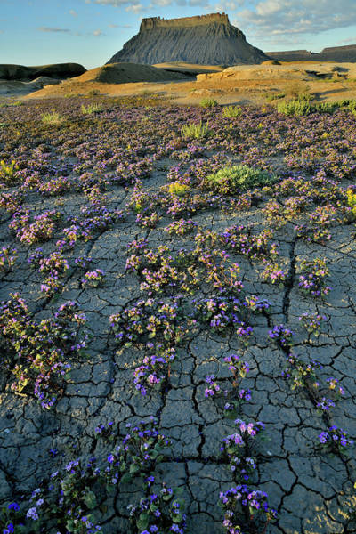 Photograph - Flowers Bloom Amidst Cracked Earth At Factory Butte by Ray Mathis