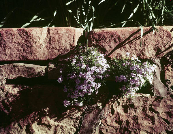 Fort Worth Photograph - Flowers Growing From Wall At Chandor Gar by John Dominis