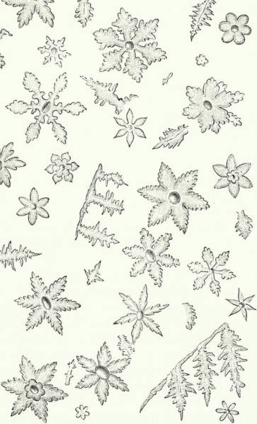 Backdrop Drawing - Flowers Of Ice by English School
