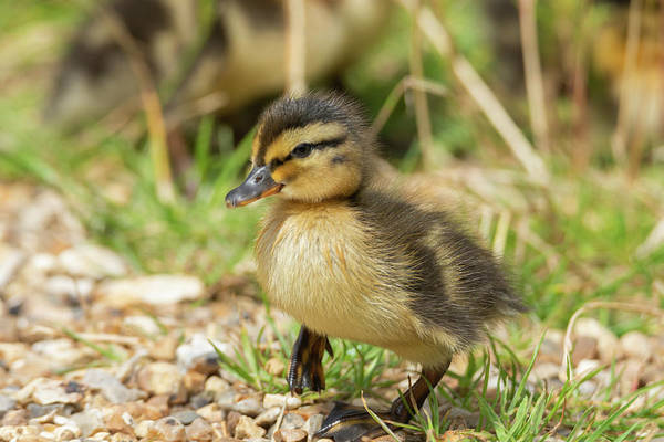 Photograph - Fluffy Duckling by Scott Lyons