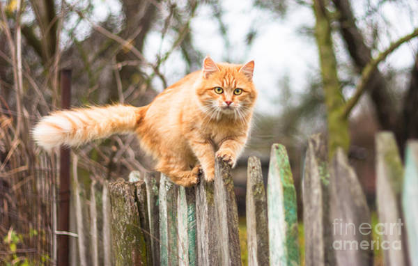 Fluffy Wall Art - Photograph - Fluffy Ginger Tabby Cat Walking On Old by Lkoimages