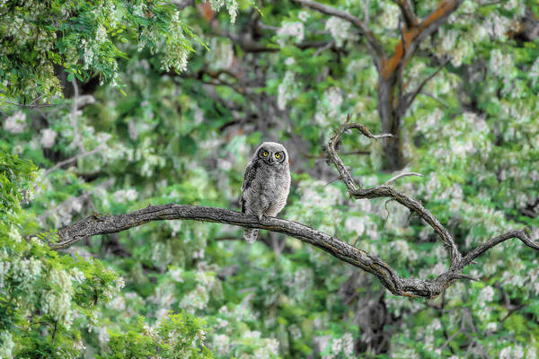 Photograph - Fluffy Great Horned Owlet by Wes and Dotty Weber