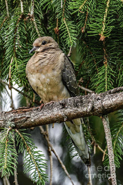 Wall Art - Photograph - Fluffy Mourning Dove by Cindy Treger
