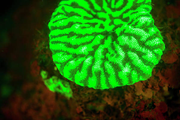 Fluorescence Emitted In Corals Art Print by Stuart Westmorland