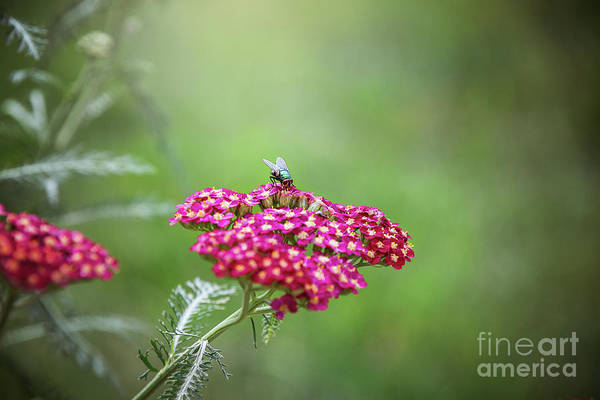 Wall Art - Photograph - Fly On A Flower by Sharon McConnell