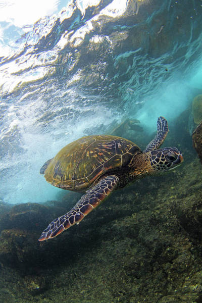 Green Sea Turtle Photograph - Flyby by James Roemmling