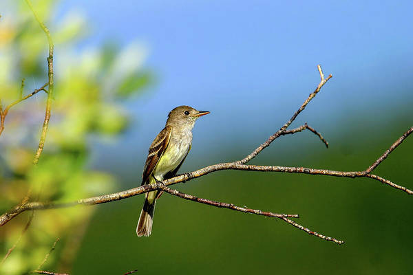 Photograph - Flycatcher by Ronnie and Frances Howard