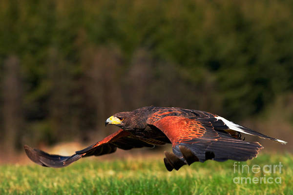 Wall Art - Photograph - Flying Bird Of Prey, Harris Hawk by Ondrej Prosicky