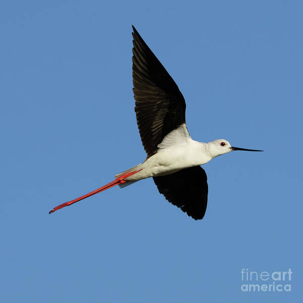 Photograph - Flying Black-winged Stilt With Blue Sky by Pablo Avanzini