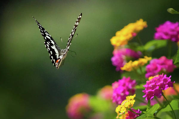 Swallowtail Photograph - Flying Common Lime Swallowtail by © Copyright 2011 Sharleen Chao