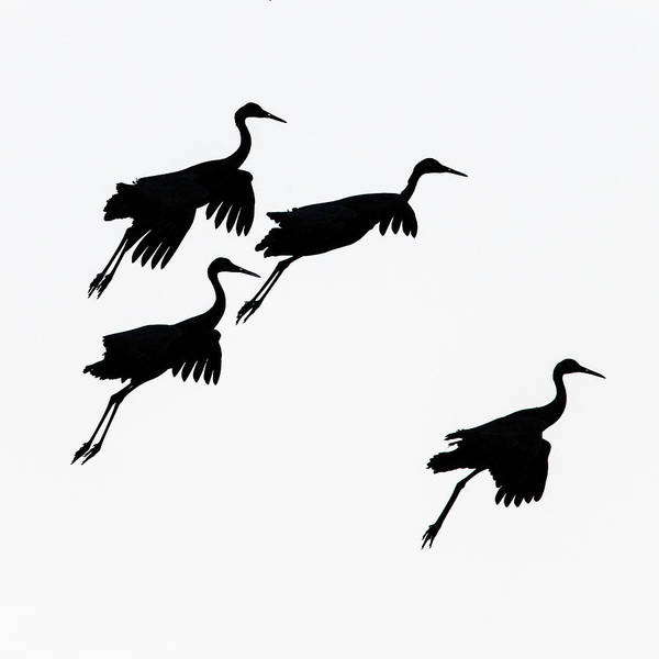 Wall Art - Photograph - Flying Cranes Against Sky, Socorro, New by Panoramic Images