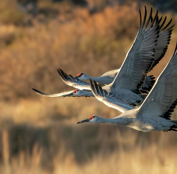Photograph - Flying Cranes by Judi Dressler