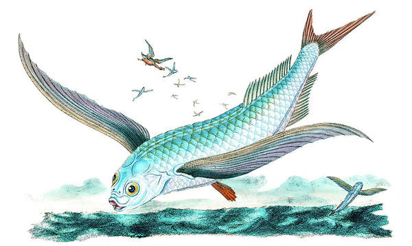 Drawing - Flying Fish by David Letts