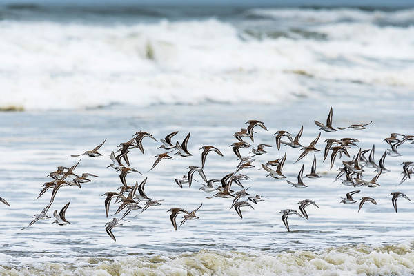 Photograph - Flying Flock Of Shorebirds by Robert Potts