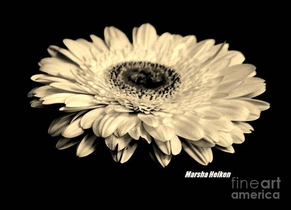 Wall Art - Photograph - Flying Gerber Daisy by Marsha Heiken