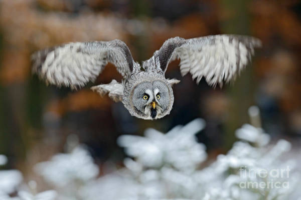 Wall Art - Photograph - Flying Great Grey Owl, Strix Nebulosa by Ondrej Prosicky