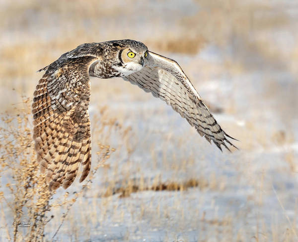 Photograph - Flying Great Horned Owl by Judi Dressler