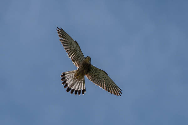 Photograph - Flying Male Kestrel In The Blue Sky by Torbjorn Swenelius
