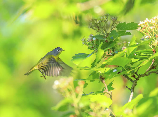Photograph - Flying Northern Parula by Dan Sproul