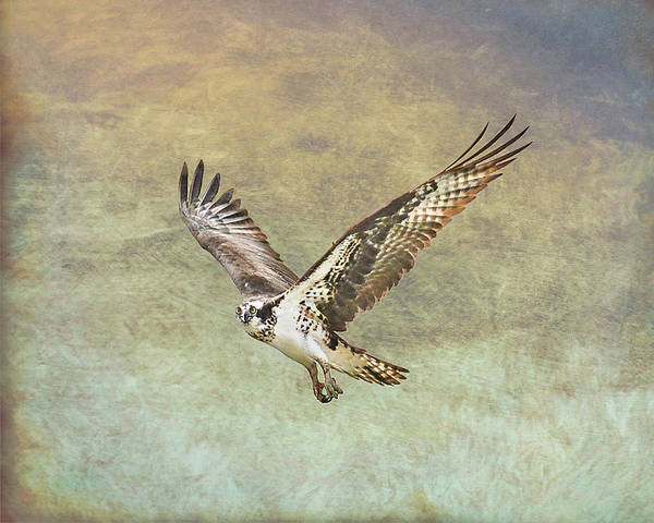 Photograph - Flying Osprey by Jennifer Grossnickle