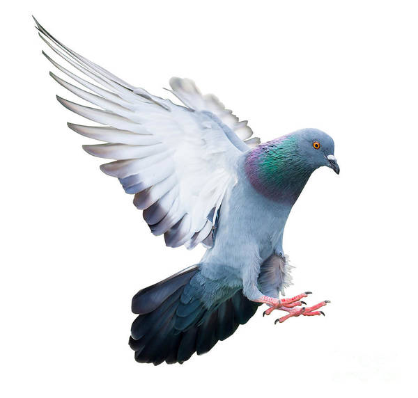 Wall Art - Photograph - Flying Pigeon Bird In Action Isolated by Mrs ya