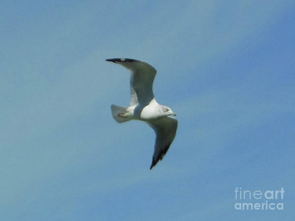 Photograph - Flying Seagull by Rockin Docks