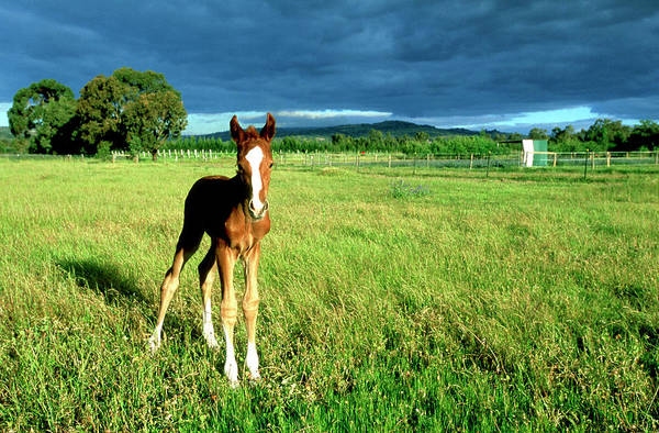 Swan Valley Photograph - Foal by Frances Andrijich