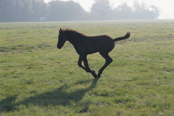 Friesian Horse Photograph - Foal Galloping In Field by Frans Lemmens