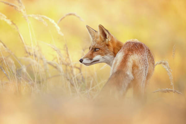 Wall Art - Photograph - Focused Fox In Dry Yellow Grass by Roeselien Raimond
