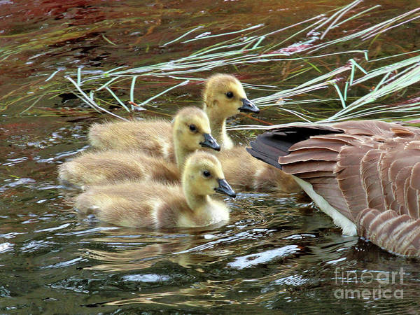 Photograph - Following Mom's Lead by Debbie Stahre