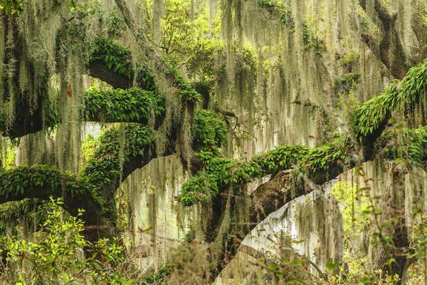 Wall Art - Photograph - Footpath Beneath Live Oaks Draped by Adam Jones