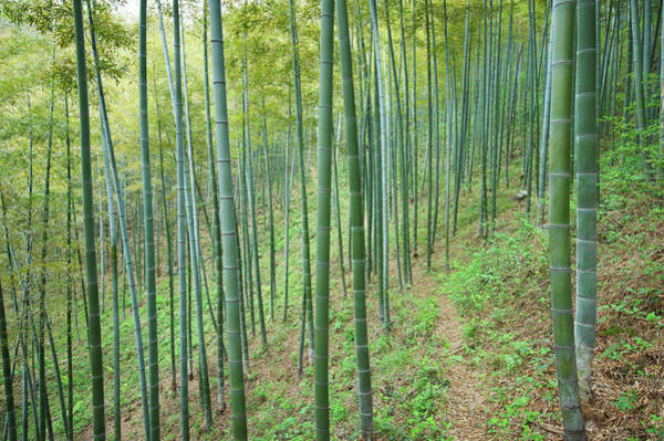 Residential Area Photograph - Footpath In Bamboo Forest by Sandsun