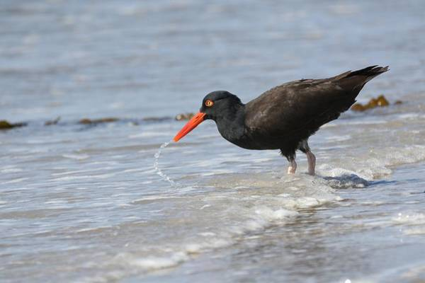 Photograph - Foraging In The Surf by Fraida Gutovich