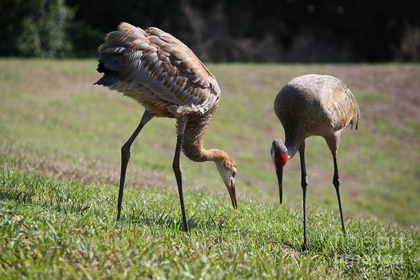 Photograph - Foraging Sandhill Family by Carol Groenen