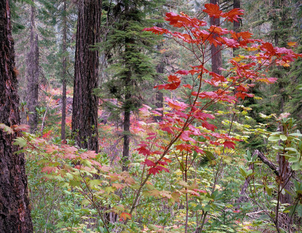 Conifer Photograph - Forest Autumn by Leland D Howard