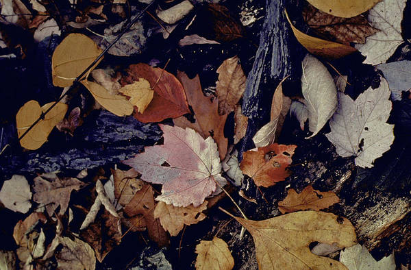 Photograph - Forest Floor At Mettles Woods In Fall W by Gjon Mili