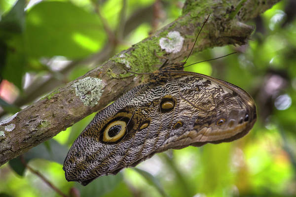 Photograph - Forest Giant Owl Butterfly Jardin Botanico Del Quindio Calarca C by Adam Rainoff