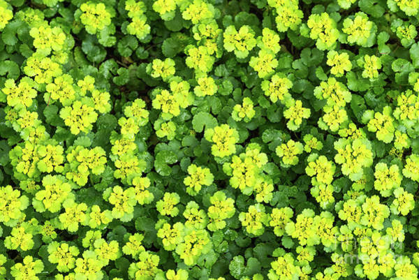 Photograph - Forest Ground Cover - Yellow Flowers by Les Palenik