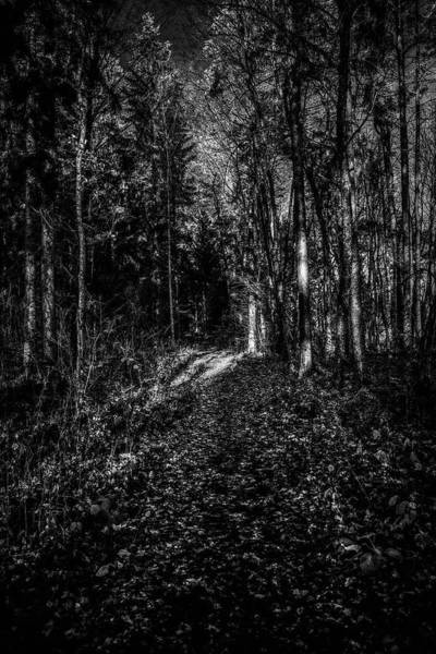Photograph - Forest Light Bw #i1 by Leif Sohlman