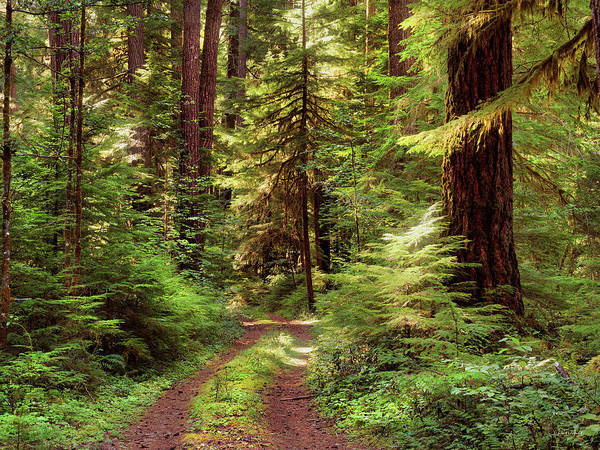 Conifer Photograph - Forest Path 4 by Leland D Howard