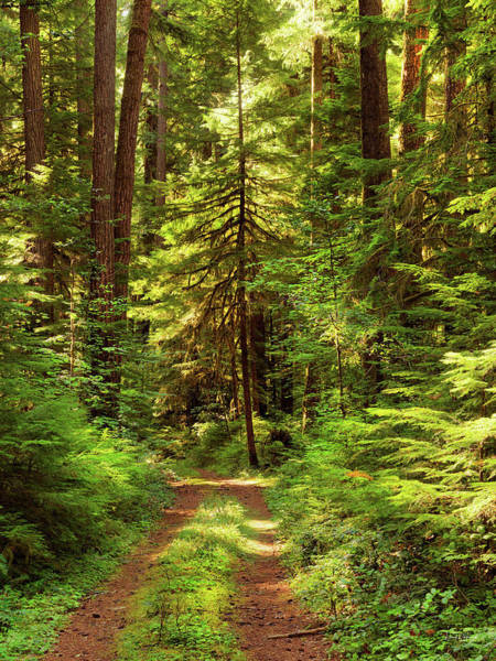 Conifer Photograph - Forest Path 5 by Leland D Howard