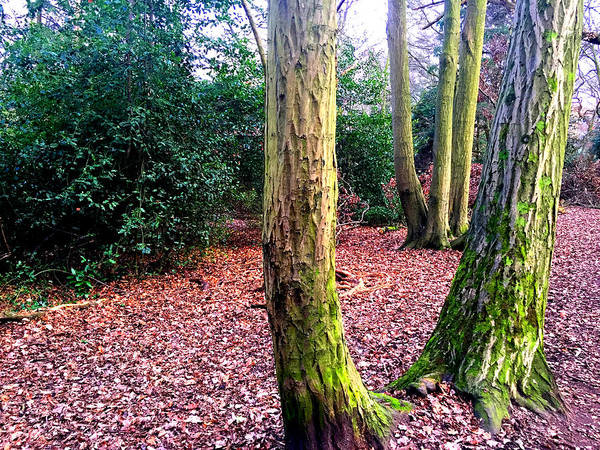 Photograph - Forest Trees In Highgate Woods 52 by Artist Dot
