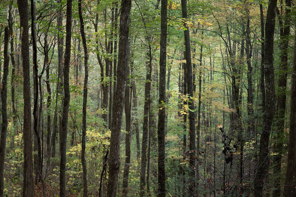 Photograph - Forest Trees Smoky Mountain  by David Chasey
