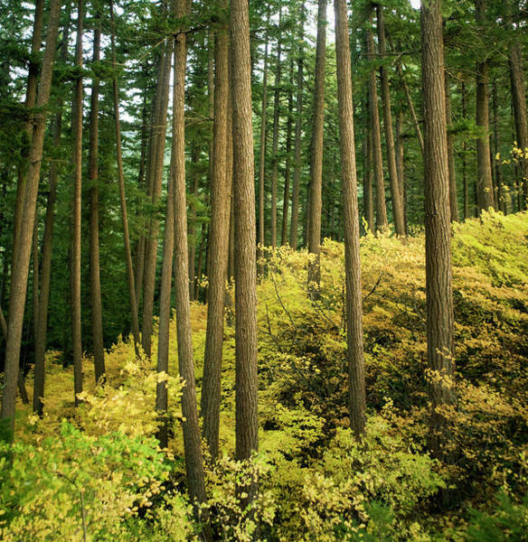 Oregon Ridge Photograph - Forest With Tall Trees And Autumn Colors by Danielle D. Hughson
