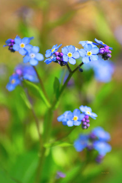 Photograph - Forget Me Not Wildflowers by Christina Rollo