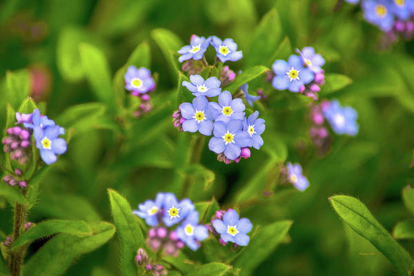 Photograph - Forget Me Nots by Christina Rollo