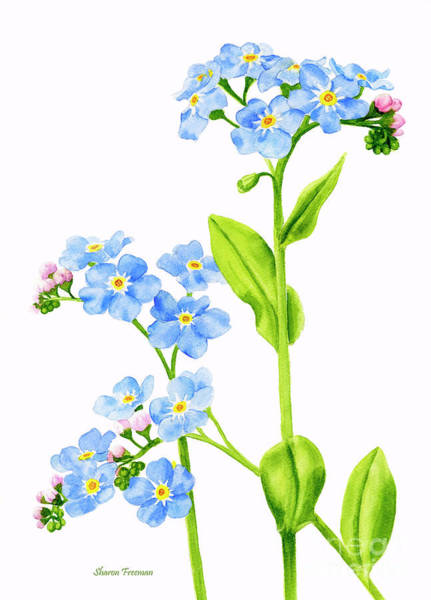 Freeman Wall Art - Painting - Forget-me-nots On White by Sharon Freeman